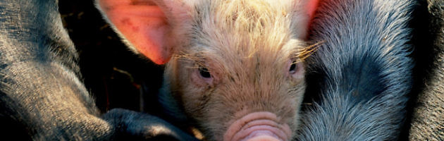 Rest In Peace: Epileptic Woman Gets Eaten Alive By Pet Pigs